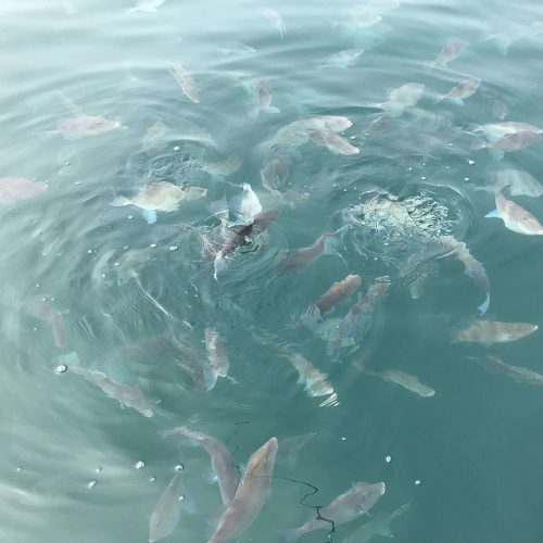 peces-tambor